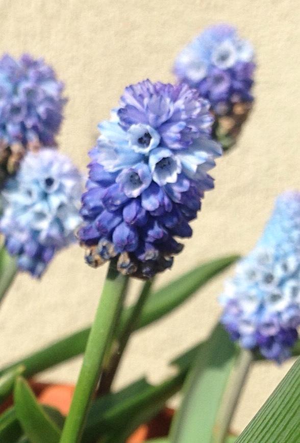 Pseudomuscari azureum flower heads